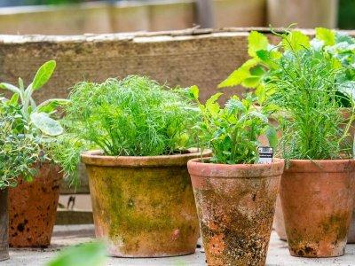 Dyrk krydderurter på terrassen