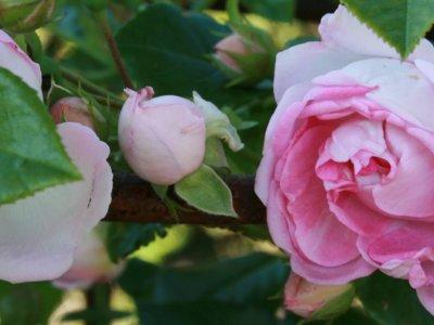 Farverig rosenhave med søde naboer