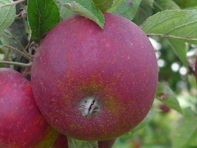 Frugttræer