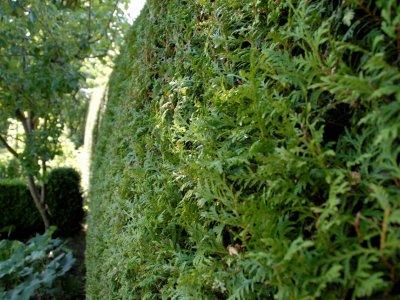 Stedsegrønne planter